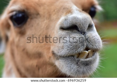 funny lama macro, alpaca close up portrait, focus on mouth with askew teeth