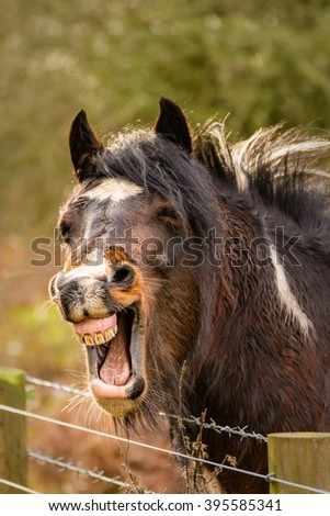Funny laughing brown horse with mouth wide open showing teeth. - stock photo