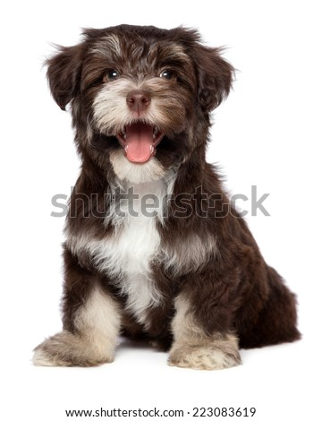 Funny laughing chocolate colored havanese puppy dog is sitting, isolated on white background - stock photo