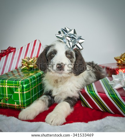 Funny little Aussie Doodle puppy with a silver Christmas bow on his head with Christmas gifts all around him.