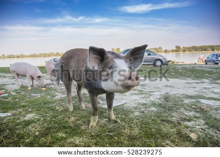 Funny little baby pigs grazing the grass on an open field and running around