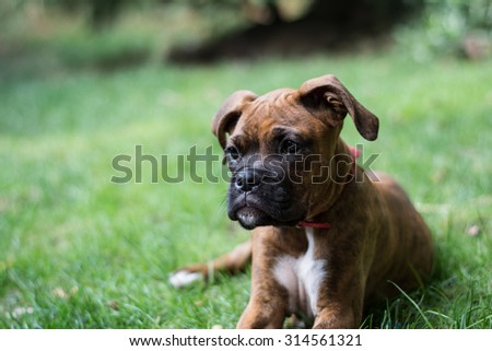funny little boxer dog playing in the grass