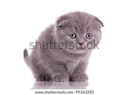 funny little british kitten isolated on white - stock photo