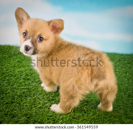 Funny little Corgi puppy with a cute little but looking back. - stock photo