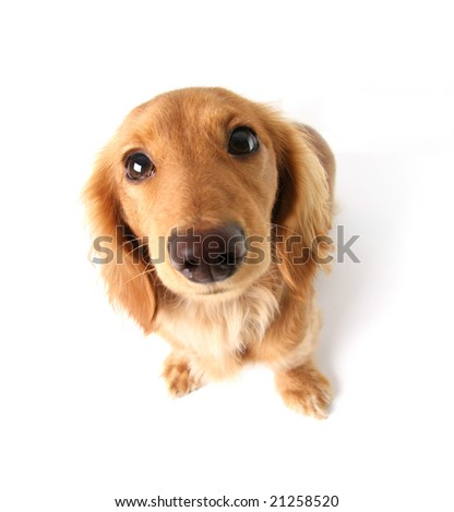 Funny little dachshund distorted by wide angle closeup. Focus on the eyes. - stock photo