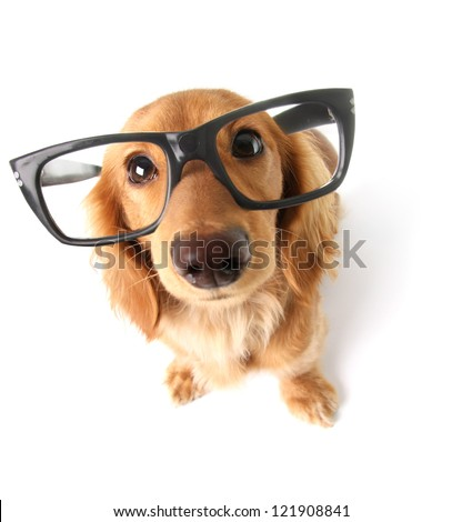 Funny little dachshund wearing glasses distorted by wide angle closeup. Focus on the eyes. - stock photo