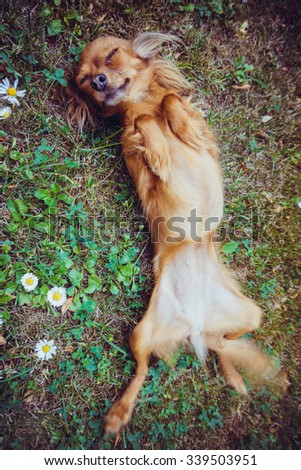 Funny little dog - stock photo