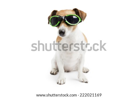 Funny little dog jack russell terrier with glasses for swimming is sitting on a white background looking at the camera.