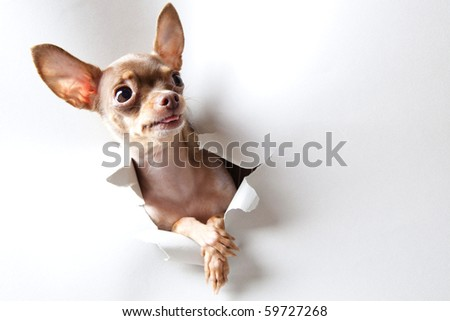 Funny little dog on white - stock photo