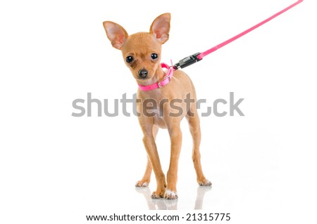 Funny little dog with pink leash, isolated on white background - stock photo