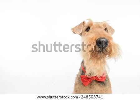 Funny little hipster. Top view portrait of black brown Airedale Terrier dog with a bow tie isolated on white background with copy space - stock photo