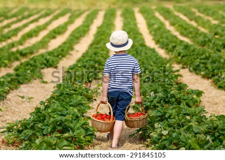 Funny little kid picking and eating strawberries on organic bio berry farm in summer, on warm sunny day. Harvest fields in Germany. Healthy food for children. - stock photo