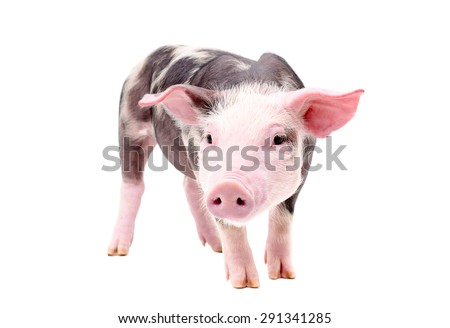 Funny little piglet, standing in full length, isolated on white background - stock photo
