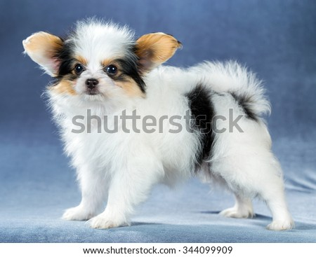 Funny little puppy Papillon standing on a blue background - stock photo