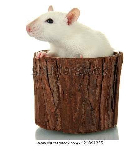 funny little rat in wooden vase, isolated on white - stock photo