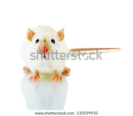 funny little rat, isolated on white - stock photo
