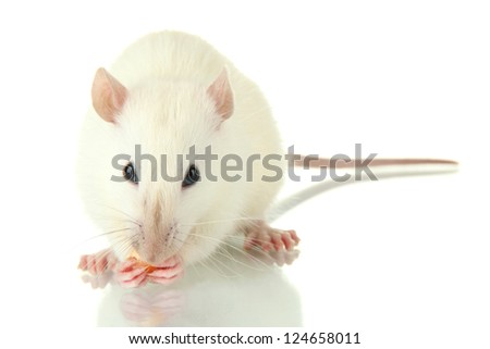funny little rat with food, isolated on white - stock photo