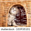 funny little Scottish fold kitten sitting inside wicker cat house - stock photo