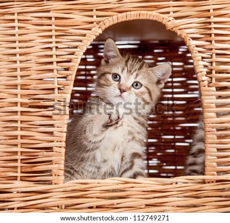 funny little Scottish kitten looking from wicker cat house - stock photo
