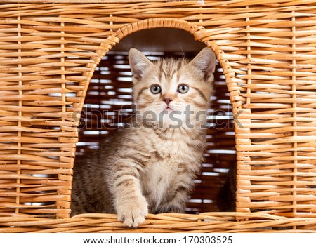 funny little Scottish kitten sitting inside wicker cat house - stock photo