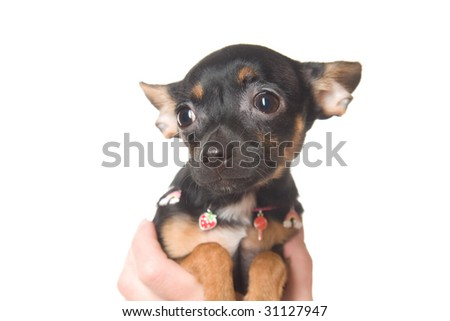 Funny little toy-terrier dog
