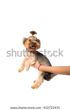 Funny Little Yorkie pup in the groomer's hand - isolated on white - stock photo