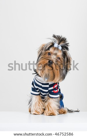 Funny little Yorkshire terrier in pullover, studio shot over white background - stock photo
