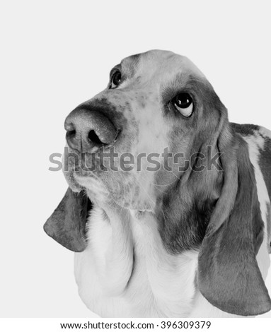 Funny-looking Basset Hound (in black and white, retro style), selective focus on the eyes - stock photo