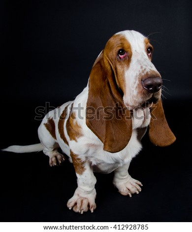 Funny-looking Basset Hound (isolated on black, selective focus on the eyes) - stock photo