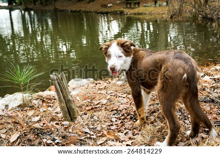 Funny looking Border Collie puppy standing next to a small lake. - stock photo