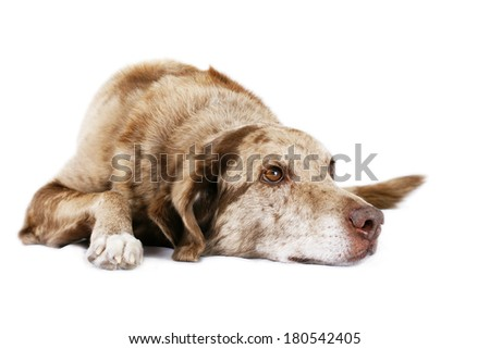 Funny looking dog laying down and looking up on white - stock photo