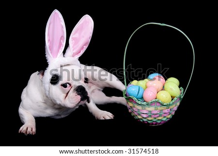 funny looking easter bulldog with rabbit ears costume and egg basket over black