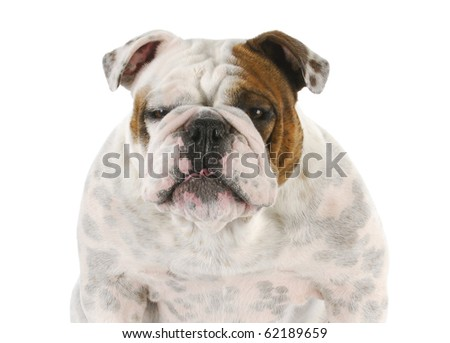 funny looking english bulldog portrait on white background