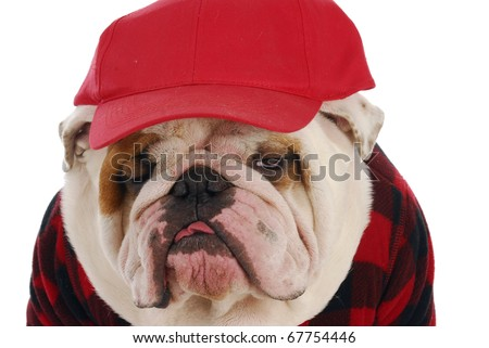 funny looking english bulldog wearing plaid shirt and red trucker hat on white background - stock photo