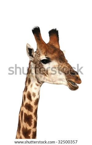 Funny looking giraffe isolated on white background