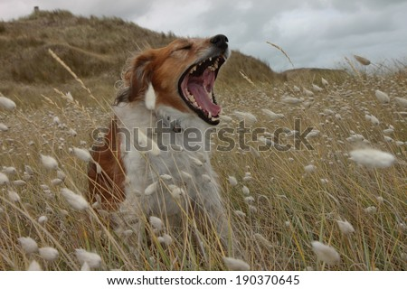 Funny looking red haired dog in a meadow yawning and baring its teeth  - stock photo