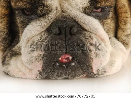 funny looking sad dog - english bulldog face - stock photo