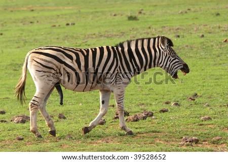 zebra penis størrelse