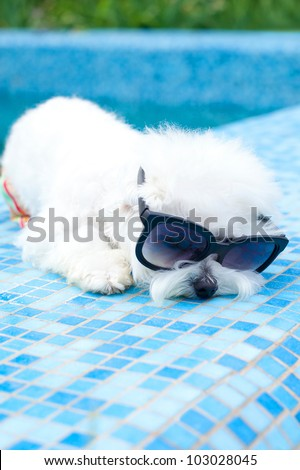 Funny maltese dog wearing sunglasses by the pool - stock photo