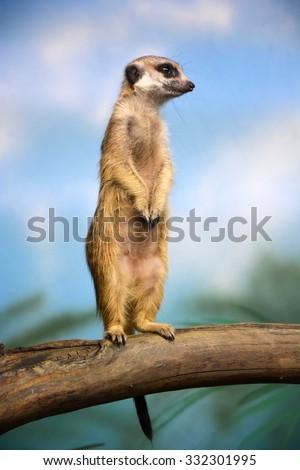 Funny meerkat - stock photo