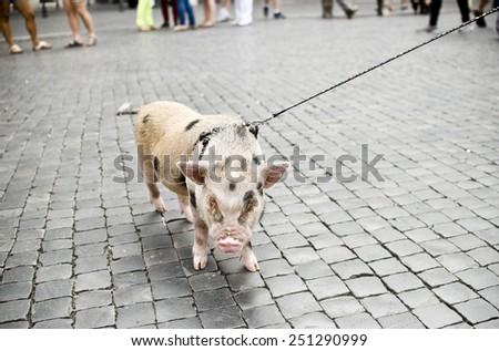 Funny mini piggy walking in sity - stock photo