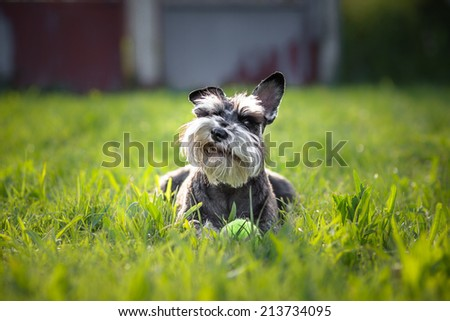 Funny miniature schnauzer dog - stock photo