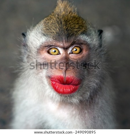 Funny monkey with a red lips - stock photo