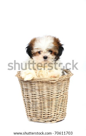 Funny 3 month old shih tzu puppy sitting in the basket on the white background in studio - stock photo