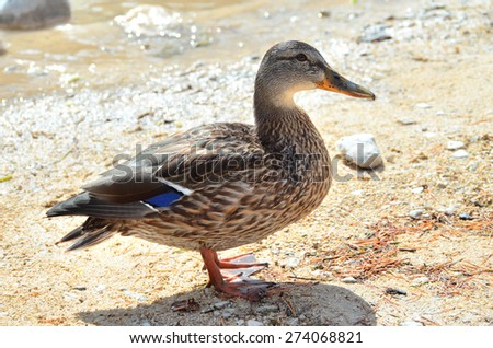 Funny motley duck looks in the lens - stock photo