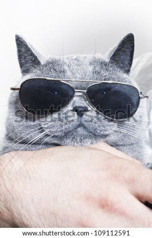 Funny muzzle of gray British cat in sunglasses closeup - stock photo