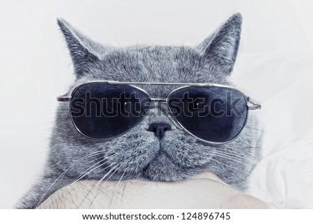 Funny muzzle of gray British cat in sunglasses closeup - stock photo