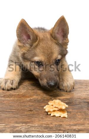 Funny nine weeks old german shepherd puppy stealing a cookie - stock photo