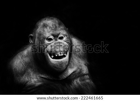 Funny orangutan monkey smiling - black noir background - stock photo