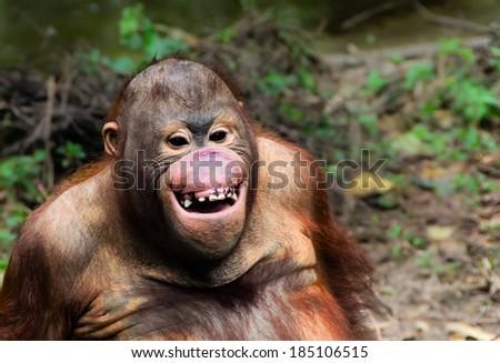 Funny  orangutan smile - monkey close up portrait - stock photo